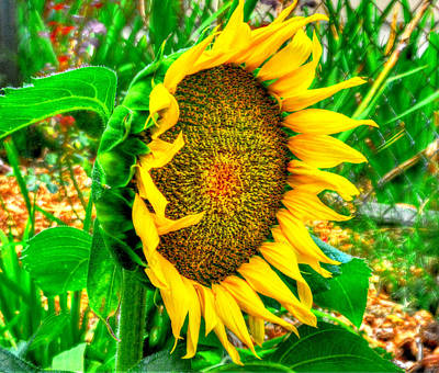 Sunflowers Royalty Free Images - Sunflower Bloom Royalty-Free Image by Greg Joens