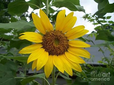Sunflower Bloom  Original