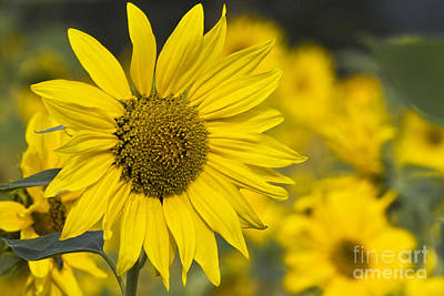 Sunflowers Royalty-Free and Rights-Managed Images - Sunflower blossom by Heiko Koehrer-Wagner