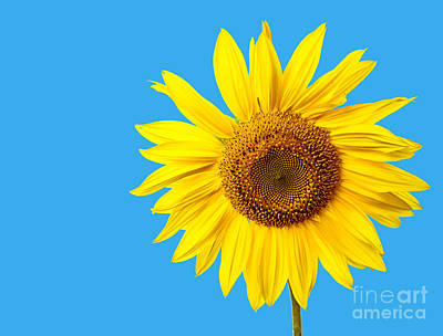 Yellow Photograph - Sunflower Blue Sky by Edward Fielding