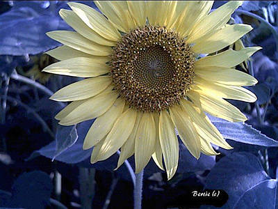 Photograph - Sunflower Blues by Bertie Edwards