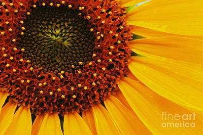 Joy Of The Sunflower Art Print by Bob Christopher