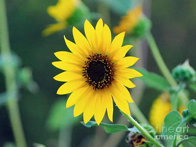 Photograph - Sunflower On Green  by Bob Sample