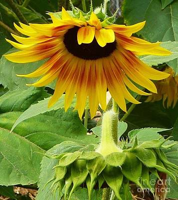 Photograph - Sunflower Bow by Susan Garren