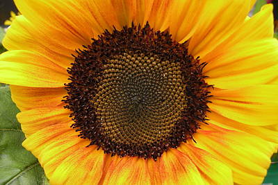 Photograph - Sunflower by Brian Chase