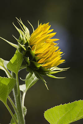 Photograph - Sunflower Bright Side by Christina Rollo