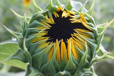 Sunflower Bud Original by Dora Sofia Caputo Photographic Art and Design