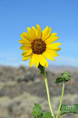 Sunflower By Craters Of The Moon Art Print by Debra Thompson