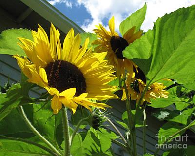 Photograph - Sunflower by Carol McCutcheon