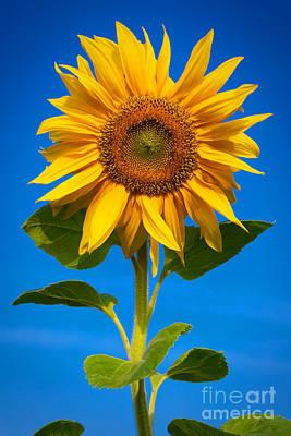Sunflower Art Print by Carsten Reisinger