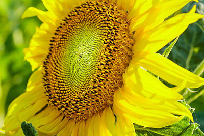 Photograph - Sunflower by Charles Lupica