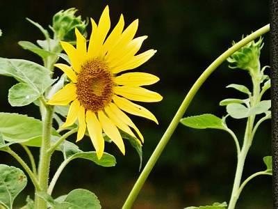 Sunflower Cheer Art Print