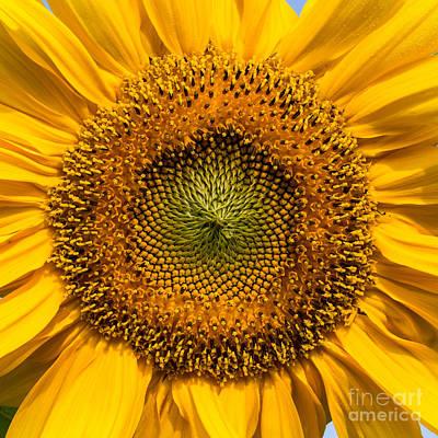 Sunflower Closeup Art Print by Carsten Reisinger