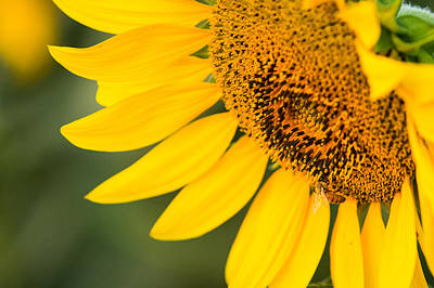 Abstract Oil Paintings Color Pattern And Texture - Sunflower Closeup by Drew MacCallum
