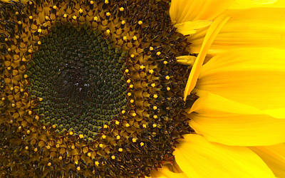 Photograph - Sunflower Closeup by Jane McIlroy