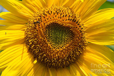 Photograph - Sunflower Closeup by Sue Karski