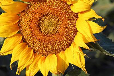 Photograph - Sunflower - Closeup by Susan Schroeder