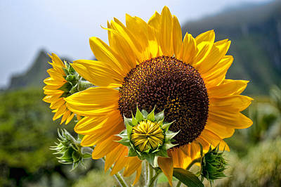 Photograph - Sunflower by Dan McManus