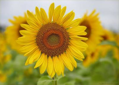 Photograph - Sunflower by Daniel Behm