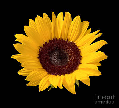 Still Life Photograph - Sunflower  by Danny Smythe