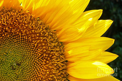 Photograph - Sunflower by David Cutts