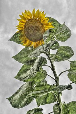 Photograph - Sunflower by Dawn J Benko
