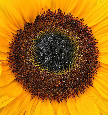 Photograph - Sunflower Delight by Brian Chase