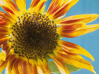 Photograph - Sunflower by Derek Dean