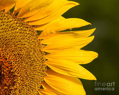 Photograph - Sunflower Dew by Dale Nelson