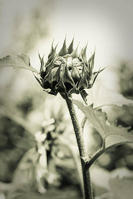 Photograph - Sunflower - Dreamers Garden Series by Marco Oliveira