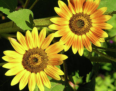Photograph - Sunflower Duo by Margaret Saheed