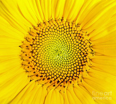 Yellow Sunflowers Photograph - Sunflower  by Edward Fielding