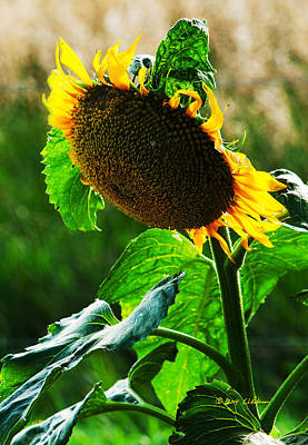 Photograph - Sunflower  by Edward Peterson