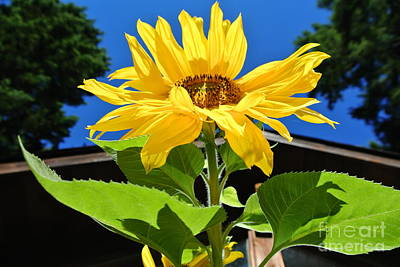 Photograph - Sunflower Energy by Sharron Cuthbertson