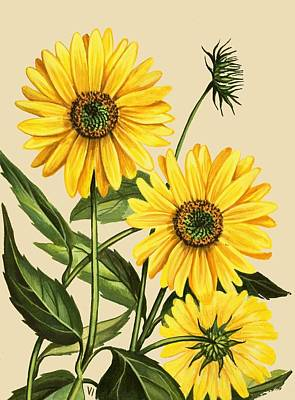 Floral Drawing - Sunflower by English School