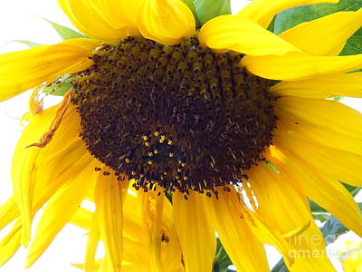 Photograph - Sunflower - Falling For You by Janine Riley