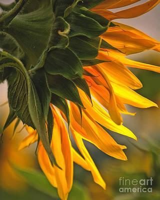 Photograph - Sunflower Farm 1 by Kathleen K Parker
