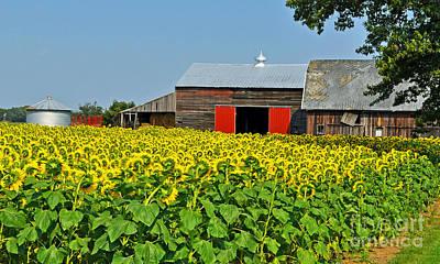 Photograph - Sunflower Farm by Rodney Campbell