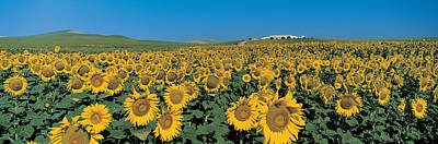 Flower Blooms Photograph - Sunflower Field Andalucia Spain by Panoramic Images