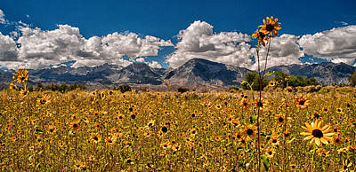 Sunflowers Royalty-Free and Rights-Managed Images - Sunflower Field by Cat Connor
