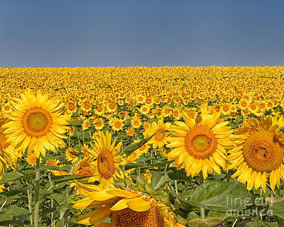 Photograph - Sunflower Field by Dale Nelson