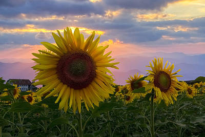 Sunflower Field Art Print by Debra and Dave Vanderlaan