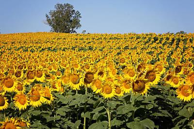 Photograph - Sunflower Field In Kansas by Deb Buchanan