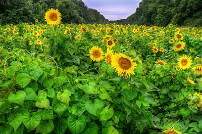 Art Print featuring the photograph Sunflower Field In Oil by Michael Donahue