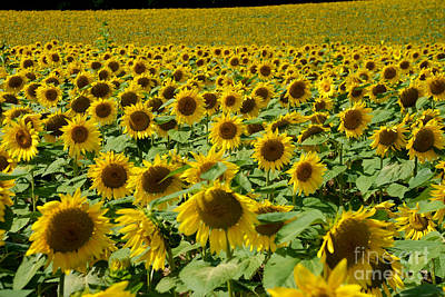 Photograph - Sunflower Field by Mark Dodd