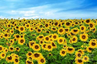 Sunflower Field Art Print by Mike Ste Marie