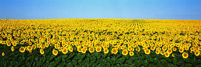 Yellow Sunflowers Photograph - Sunflower Field, North Dakota, Usa by Panoramic Images