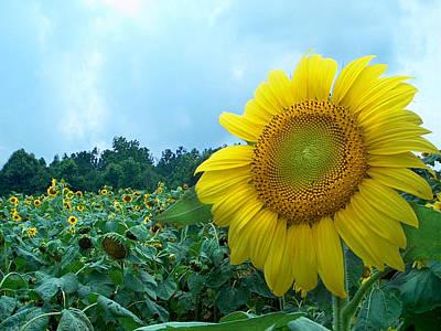 Sunflower Field Of Yellow Sunflowers By Jan Marvin Studios  Art Print