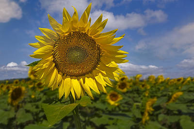 Photograph - Sunflower Field by Susan Candelario