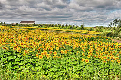 Photograph - Sunflower Field With Summer Clouds - IIi by Alpamayophoto